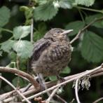 Very young Blackbird