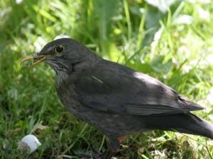 blackbird-broken-beak