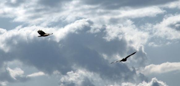 Buzzards in North Somerset