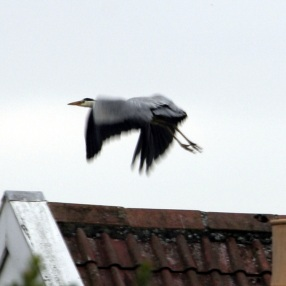 The Heron that had just eaten our goldfish
