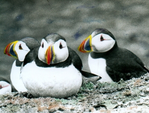 Puffins-hand-coloured