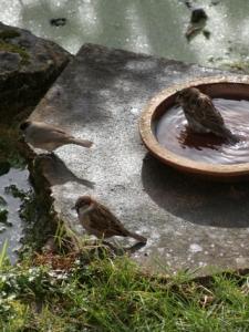 sparrows_blackcap
