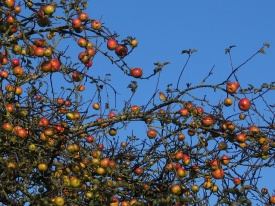 Red-breasted apples and robin