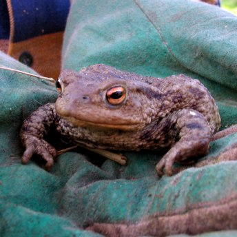 Toad found during workparty